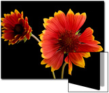 Fire Wheel Flowers, Gaillardia Pulchella Prints by Joel Sartore