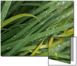 Raindrops on Blades of Grass Posters by Amy White Al Petteway