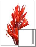 A Canna Plant, Canna Compacta Roscoe Posters by Joel Sartore