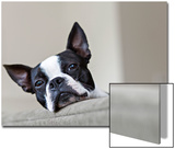 Portrait of a Pet Boston Terrier, Looking over the Edge of a Sofa Posters by Hannele Lahti