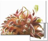Wild Onion Flower Buds Starting to Open, Allium Species Prints by Robert Llewellyn