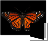 A Viceroy Butterfly, Limenitis Archippus, at the Lincoln Children's Zoo Prints by Joel Sartore
