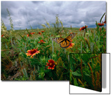 A Monarch Butterfly Lands on Wildflowers Print by Michael Forsberg