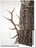 A Bull Elk, Cervus Elaphus, Rubbing His Antlers Against a Tree Trunk Poster by Robbie George