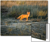 A Swift Fox Stands in the Setting Sun in the Prairie Posters by Michael Forsberg