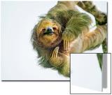 Three-Toed Sloth (Bradypus Tridactylus) Hanging, Sarapiqui, Costa Rica Poster van Green Light Collection