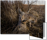 A Camera Trap Catches a Shot of a Bobcat on a Log Poster by Michael Forsberg