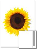 Sunflower, Helianthus Annuus Prints by Robert Llewellyn