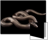A Mexican Black Kingsnake, Lampropeltis Getula Nigrita, at the Omaha Henry Doorly Zoo Art by Joel Sartore