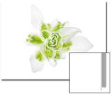 Snowdrop Flower, Galanthus Species Poster by Robert Llewellyn