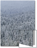 Landscape of Pine Trees Covered in Snow Art by Tom Murphy