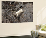 A Mountain Goat, Oreamnos Americanus, Moves with Ease Down a Rocky Ledge Wall Mural by Robbie George