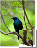 Cape Glossy Starling, Lamprotornis Nitens, Perched on a Branch Prints by Gabby Salazar