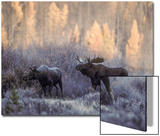 A Male and Female Moose in Field Prints by Tom Murphy