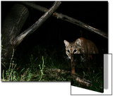 A Bobcat Is Caught with a Remote Camera Trap Prints by Michael Forsberg