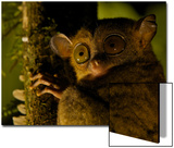 Close Up Portrait of a Western Tarsier, Tarsius Bancanus, in the Rain Forest at Night Posters by Tim Laman