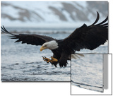 A Bald Eagle, Haliaeetus Leucocephalus, Fishing Prints by Klaus Nigge