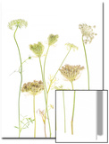 A Cluster of Queen Anne's Lace Flowers, Daucus Carota Prints by Robert Llewellyn
