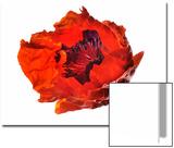 Oriental Poppy Flower Close Up, Papaver Orientale Print by Robert Llewellyn