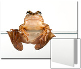 An Endangered Southern Mountain Yellow-Legged Frog, Rana Muscosa Posters by Joel Sartore