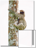 Three-Toed Sloth (Bradypus Tridactylus) Climbing on a Tree, Sarapiqui, Costa Rica Prints by Green Light Collection