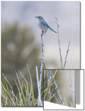 A Mountain Bluebird, Sialia Currucoides, Perched on a Twig Poster by Gabby Salazar