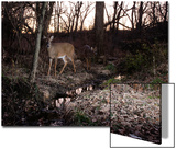 A Camera Trap Catches a White-Tailed Deer in the Forest Prints by Michael Forsberg