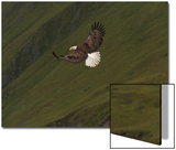 A Bald Eagle, Haliaeetus Leucocephalus, Swooping Down for Hunting Fish Prints by Klaus Nigge