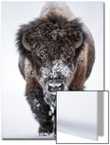 Portrait of an Snow-Dusted American Bison, Bison Bison Prints by Robbie George
