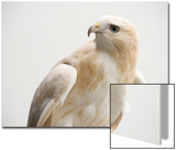 A Partially Albino Red-Tailed Hawk, Buteo Jamaicensis, at the Minnesota Zoo Posters by Joel Sartore