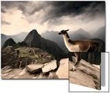 A Llama Overlooks the Pre-Columbian Inca Ruins of Machu Picchu Poster von Jim Richardson