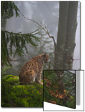 A European Lynx, Lynx Lynx, Sitting on a Moss-Covered Boulder in a Foggy Forest Posters av Sergio Pitamitz