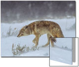 A Coyote Walks Through Wind and Snow Art by Tom Murphy
