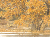 A Pair of Sandhill Cranes Walk under a Fall-Colored Tree on the Side of a Small Lake Metal Print by Michael Forsberg