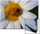 A Ladybug on a Dew-Covered Daisy in a Field Prints by Gabby Salazar