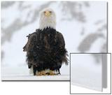 Portrait of a Bald Eagle, Haliaeetus Leucocephalus, Standing on a Frozen Lake Prints by Klaus Nigge