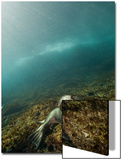 A Sea Lion Swims in Waters Off the Channel Islands Posters by Cesare Naldi