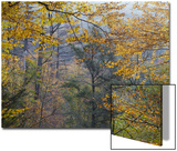 American Beech Trees, Fagus Grandifolia, in Fall Foliage in Ricketts Glenn State Park Print by Gabby Salazar