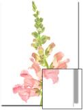 Snapdragon Flowers, Antirrhinum Species Prints by Robert Llewellyn
