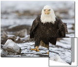 Portrait of a Bald Eagle, Haliaeetus Leucocephalus, Walking on a Frozen Lake Posters by Klaus Nigge