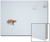 A Red Fox Walks Through a Snowy Landscape Prints by Tom Murphy