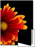 A Fire Wheel Flower, Gaillardia Pulchella Posters by Joel Sartore