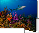 A Caribbean Reef Shark Swimming over a Colorful Reef Print by Jim Abernethy