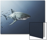 A Great White Shark Swims in Waters Off Guadalupe Island Print by Cesare Naldi