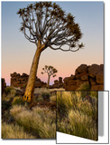 Quiver Tree (Aloe Dichotoma), Quiver Tree Forest, Namibia Prints by Green Light Collection