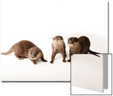 Three Asian Small-Clawed Otters, Aonyx Cinerea, at Omaha's Henry Doorly Zoo and Aquarium Prints by Joel Sartore