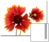 Fire Wheel Flowers, Gaillardia Pulchella Print by Joel Sartore