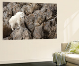 A Mountain Goat, Oreamnos Americanus, in a Rocky Landscape Wall Mural by Robbie George