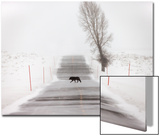 A Gray Wolf, Canis Lupus, in it's Black Phase, Crossing a Snowy Road Prints by Robbie George