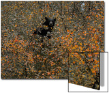 A Black Bear Eats Berries in Fall Foliage in a Tree Posters by Michael Forsberg